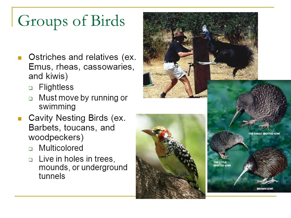 Groups of Birds Ostriches and relatives (ex. Emus, rheas, cassowaries, and kiwis)  Flightless  Must move by running or swimming Cavity Nesting Birds