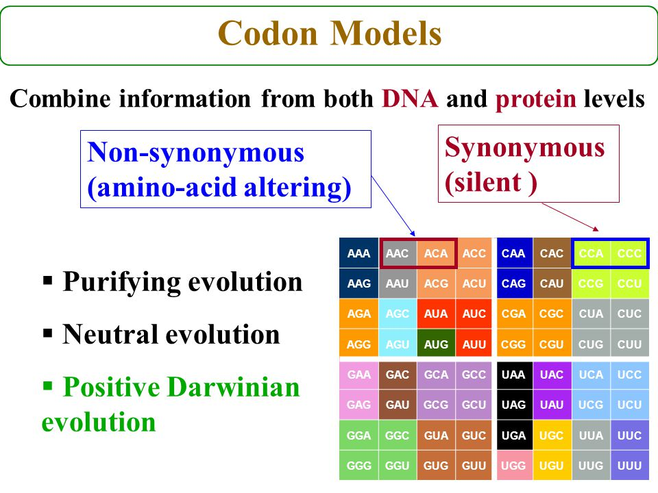 Codon Models Combine information from both DNA and protein levels AAAAACACAACCCAACACCCACCC AAGAAUACGACUCAGCAUCCGCCU AGAAGCAUAAUCCGACGCCUACUC AGGAGUAUGAUUCGGCGUCUGCUU GAAGACGCAGCCUAAUACUCAUCC GAGGAUGCGGCUUAGUAUUCGUCU GGAGGCGUAGUCUGAUGCUUAUUC GGGGGUGUGGUUUGGUGUUUGUUU Synonymous (silent ) Non-synonymous (amino-acid altering)  Purifying evolution  Neutral evolution  Positive Darwinian evolution