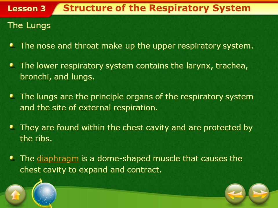 Lesson 3 The Lungs The nose and throat make up the upper respiratory system.