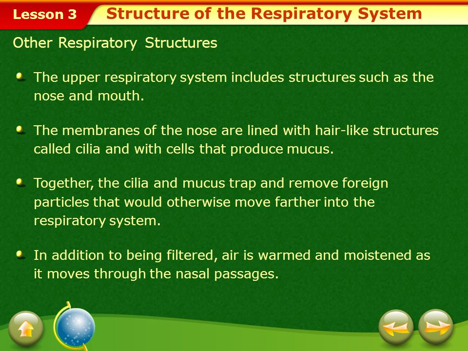 Lesson 3 Two Types of Respiration Functions of the Respiratory System Internal respiration is the exchange of gases between blood and body cells.