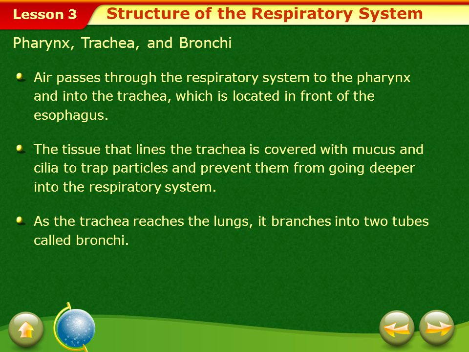 Lesson 3 Pharynx, Trachea, and Bronchi Air passes through the respiratory system to the pharynx and into the trachea, which is located in front of the esophagus.
