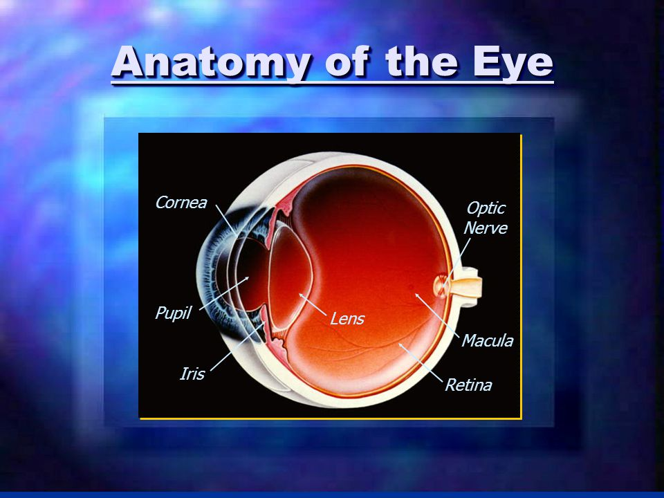 Anatomy of the Eye Cornea Retina Lens Optic Nerve Iris Pupil Macula