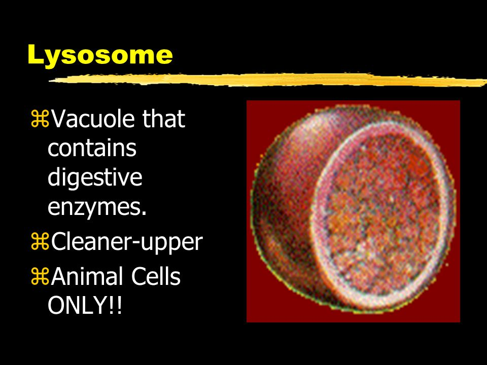 Lysosome zVacuole that contains digestive enzymes. zCleaner-upper zAnimal Cells ONLY!!