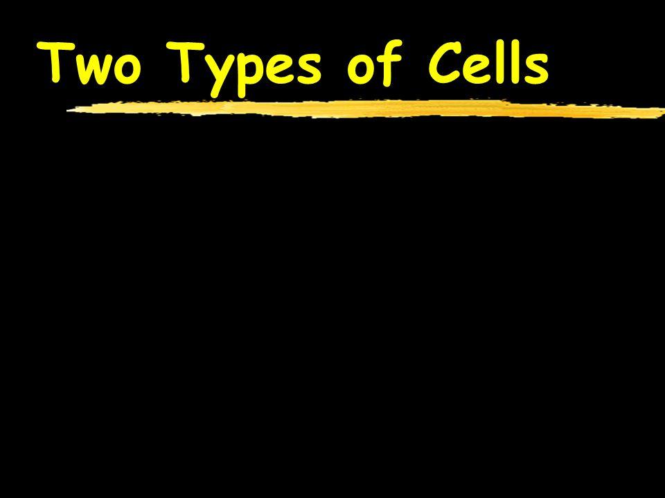 Nucleolus zProduces ribosomes