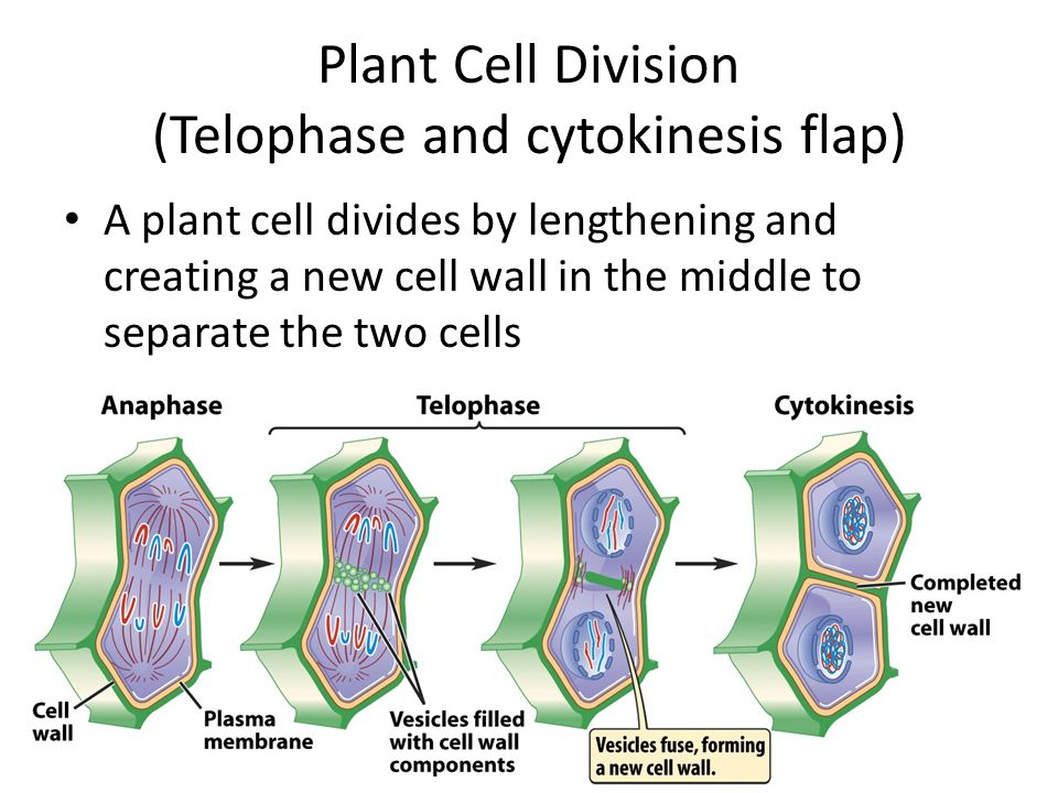 Plant Cell Division (Telophase and cytokinesis flap) A plant cell divides by lengthening and creating a new cell wall in the middle to separate the two cells