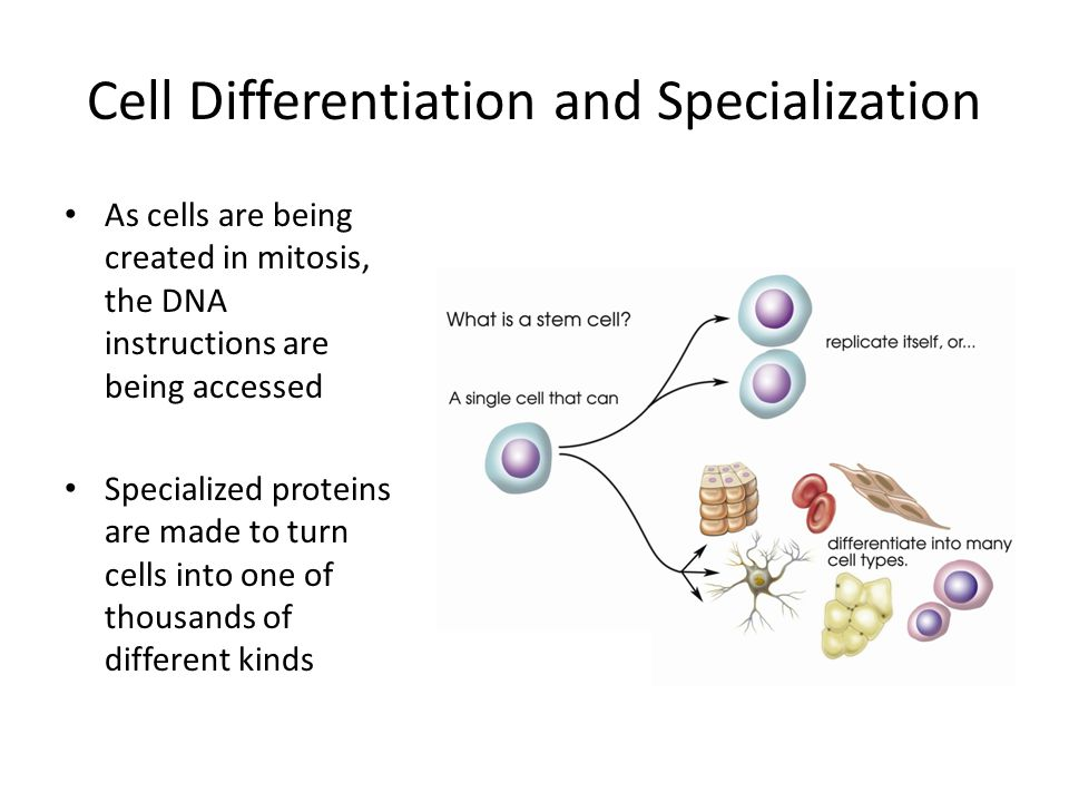 Cell Differentiation and Specialization As cells are being created in mitosis, the DNA instructions are being accessed Specialized proteins are made to turn cells into one of thousands of different kinds