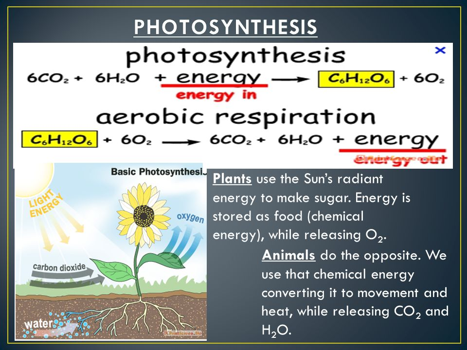 Plants use the Sun's radiant energy to make sugar. Energy is stored as food (chemical energy), while releasing O 2. Animals do the opposite. We use th
