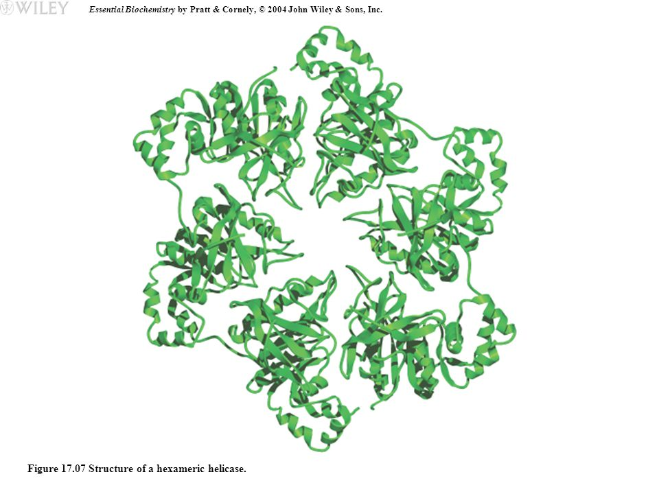 Essential Biochemistry by Pratt & Cornely, © 2004 John Wiley & Sons, Inc. Figure 17.07 Structure of a hexameric helicase.