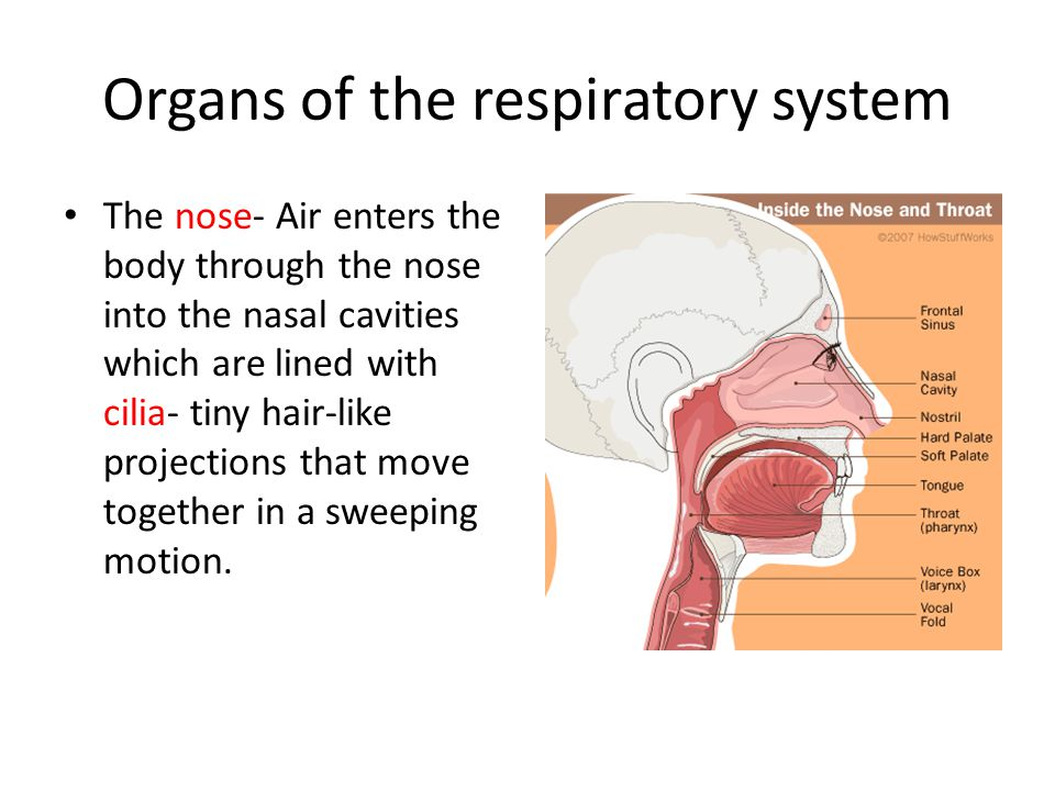 Organs of the respiratory system The Pharynx- air enters the pharynx (a.k.a.