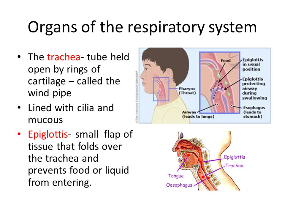 Organs of the respiratory system Bronchi and Lungs- Bronchi are passages that direct air into the lungs.