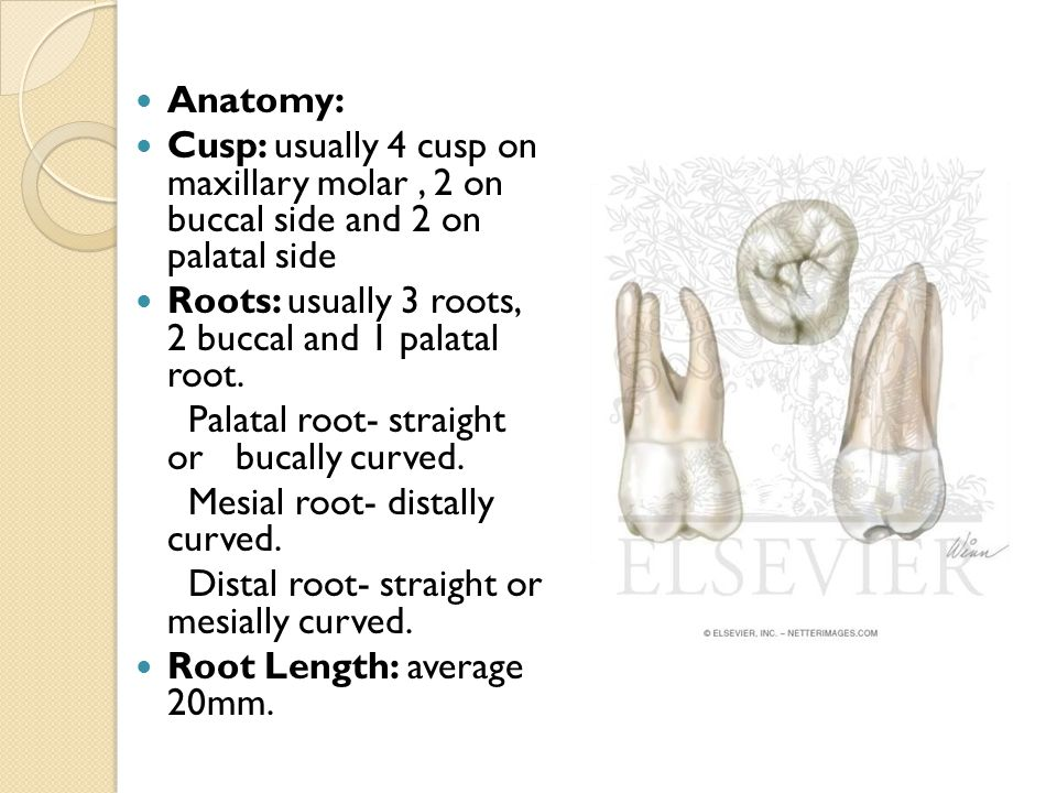 Anatomy: Cusp: usually 4 cusp on maxillary molar, 2 on buccal side and 2 on palatal side Roots: usually 3 roots, 2 buccal and 1 palatal root. Palatal