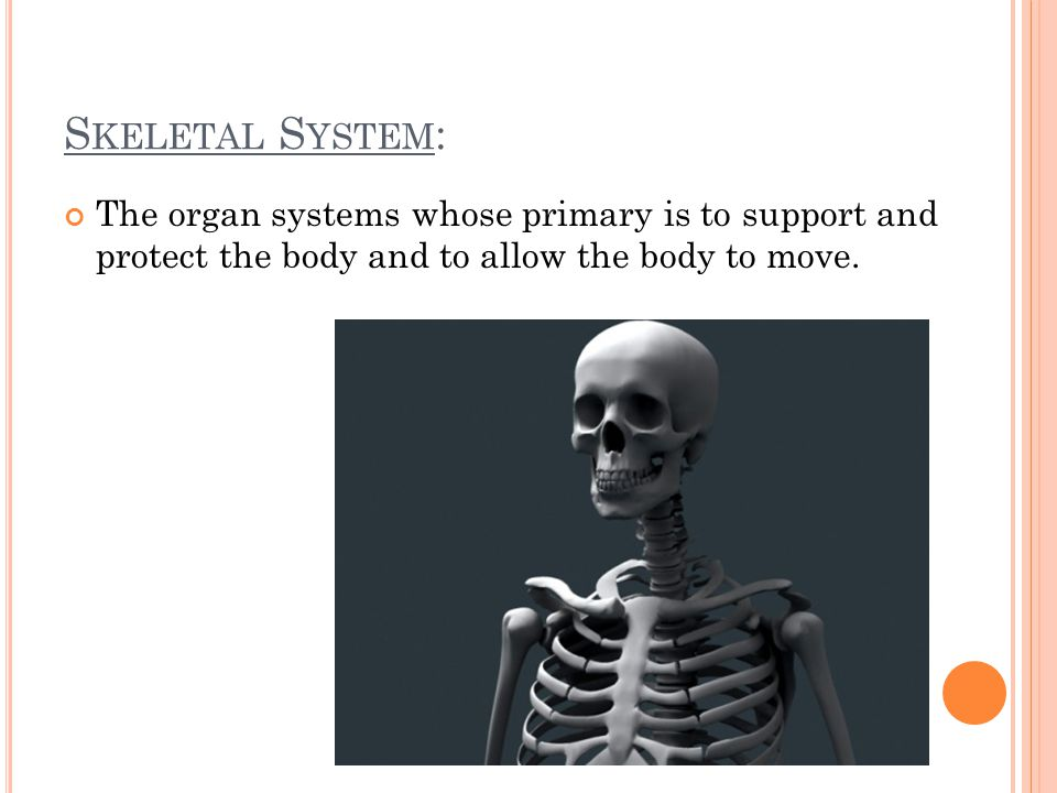 S KELETAL S YSTEM : The organ systems whose primary is to support and protect the body and to allow the body to move.
