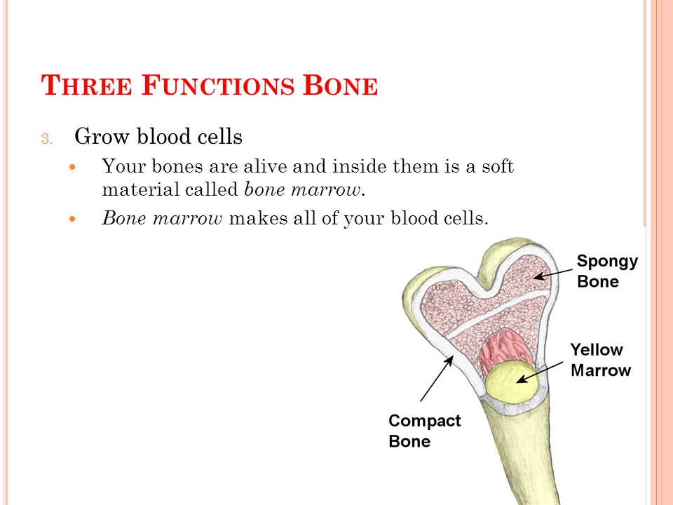 T HREE F UNCTIONS B ONE 3. Grow blood cells Your bones are alive and inside them is a soft material called bone marrow. Bone marrow makes all of your