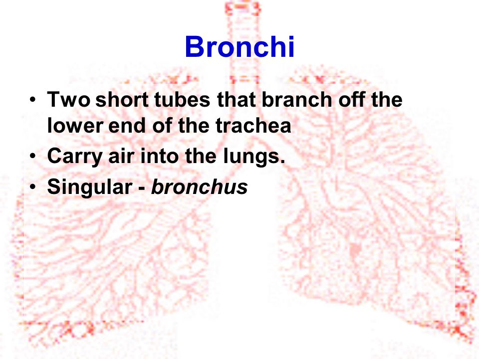 Bronchi Two short tubes that branch off the lower end of the trachea Carry air into the lungs. Singular - bronchus