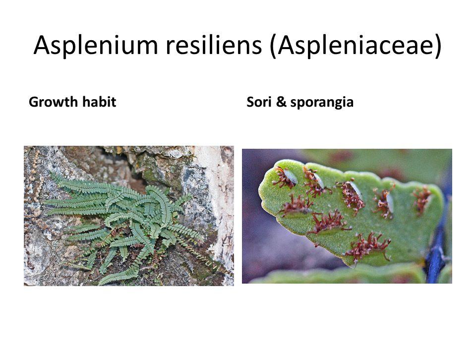 Asplenium resiliens (Aspleniaceae) Growth habitSori & sporangia