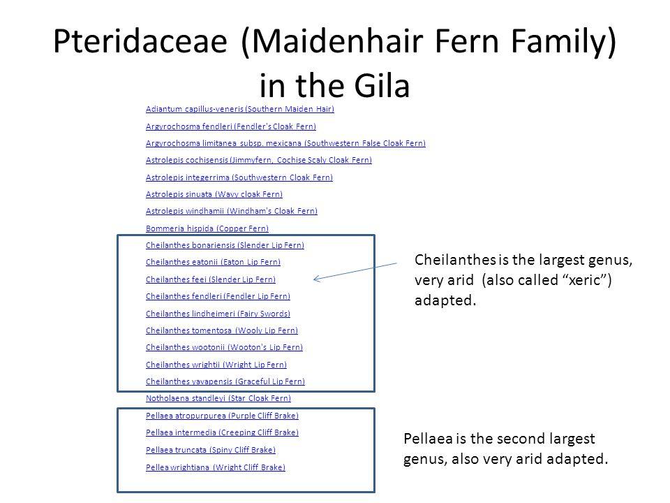 Pteridaceae (Maidenhair Fern Family) in the Gila Adiantum capillus-veneris (Southern Maiden Hair) Argyrochosma fendleri (Fendler s Cloak Fern) Argyrochosma limitanea subsp.