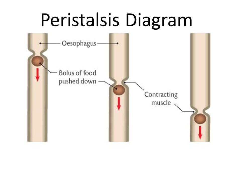 Peristalsis Diagram