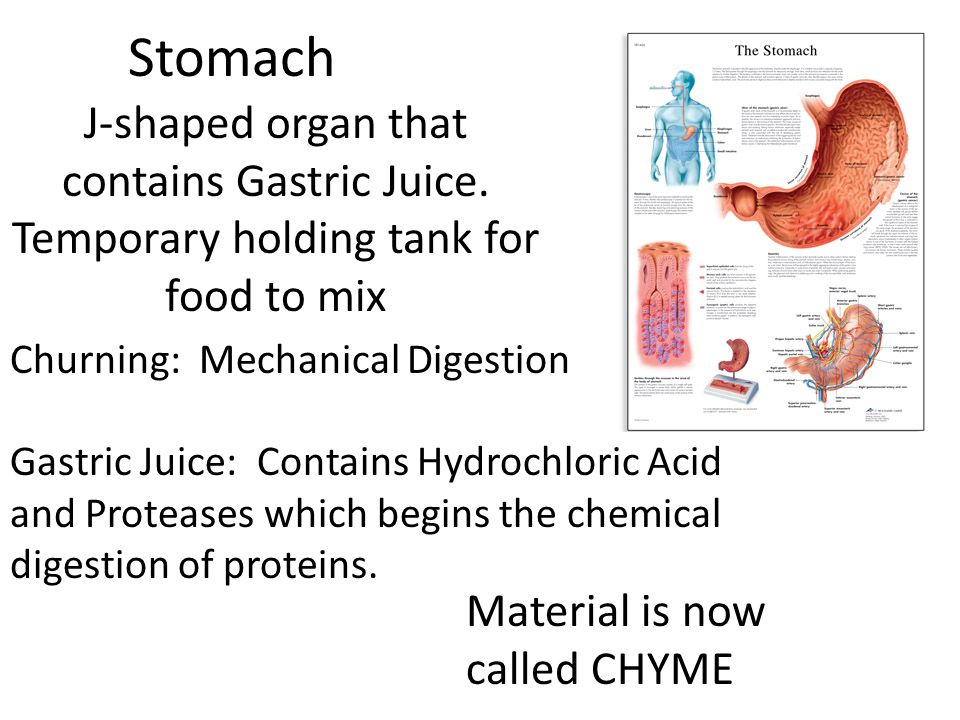 Stomach J-shaped organ that contains Gastric Juice. Temporary holding tank for food to mix Churning: Mechanical Digestion Gastric Juice: Contains Hydr