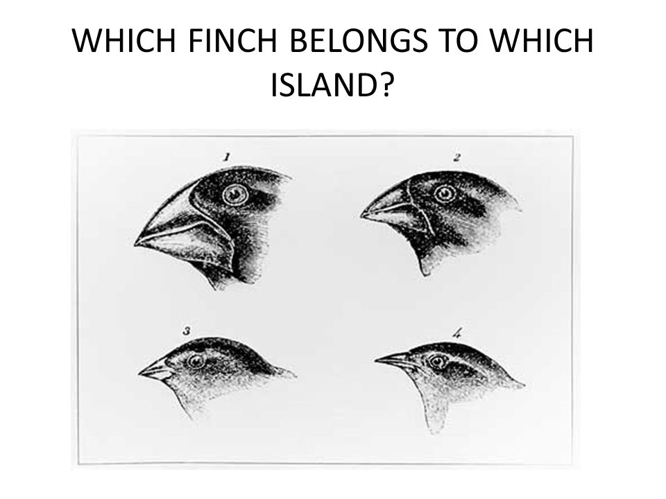 WHICH FINCH BELONGS TO WHICH ISLAND