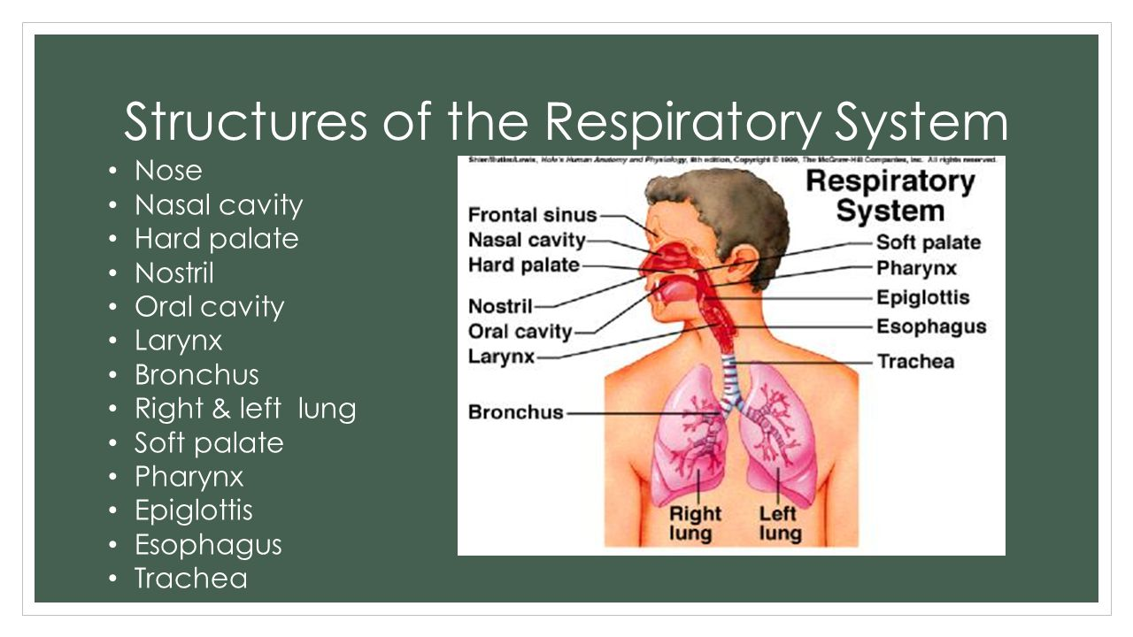 Structures of the Respiratory System Nose Nasal cavity Hard palate Nostril Oral cavity Larynx Bronchus Right & left lung Soft palate Pharynx Epiglotti
