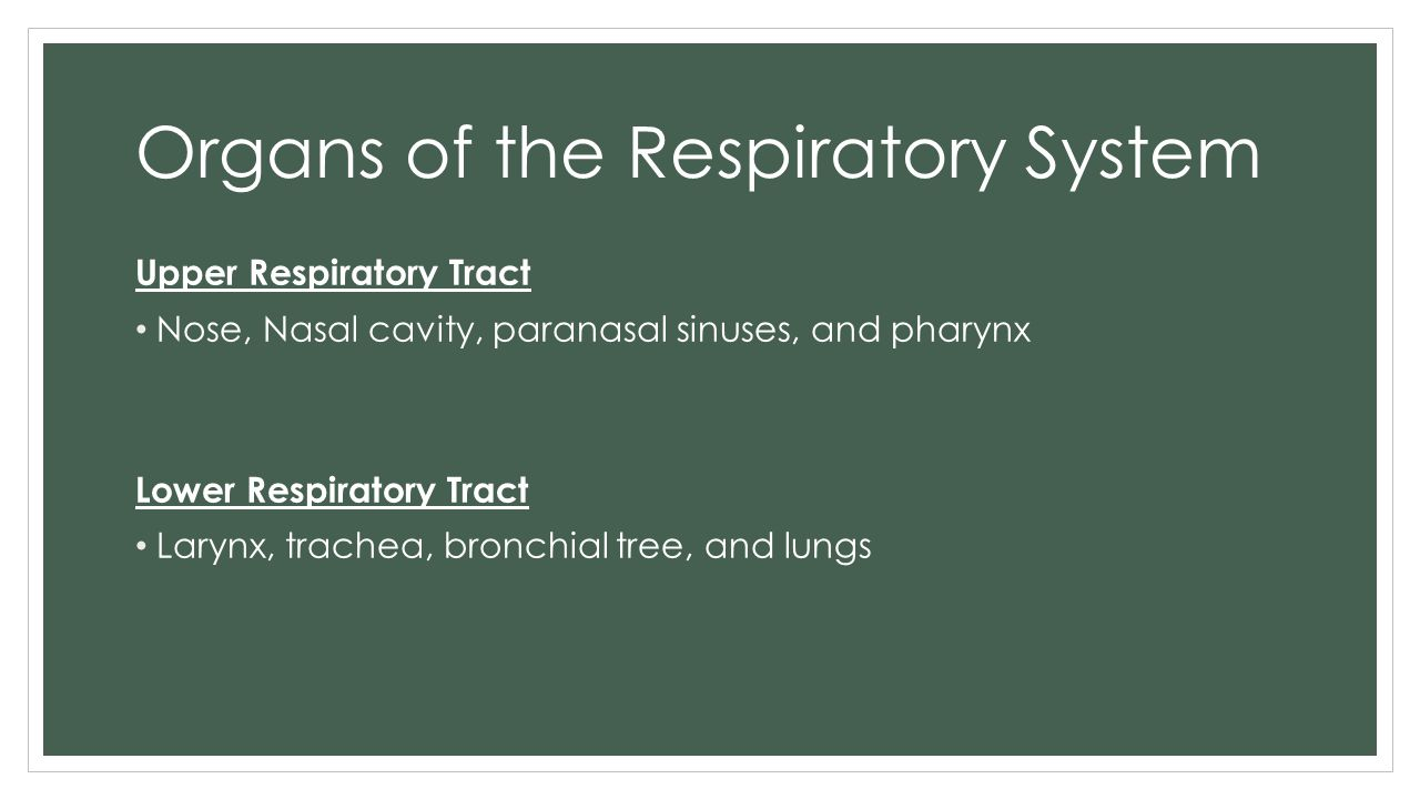 Organs of the Respiratory System Upper Respiratory Tract Nose, Nasal cavity, paranasal sinuses, and pharynx Lower Respiratory Tract Larynx, trachea, b