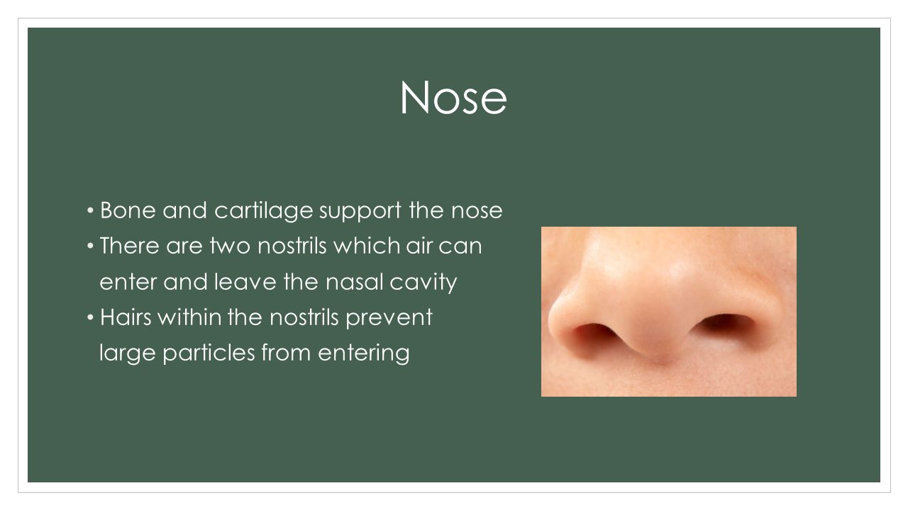 Nose Bone and cartilage support the nose There are two nostrils which air can enter and leave the nasal cavity Hairs within the nostrils prevent large