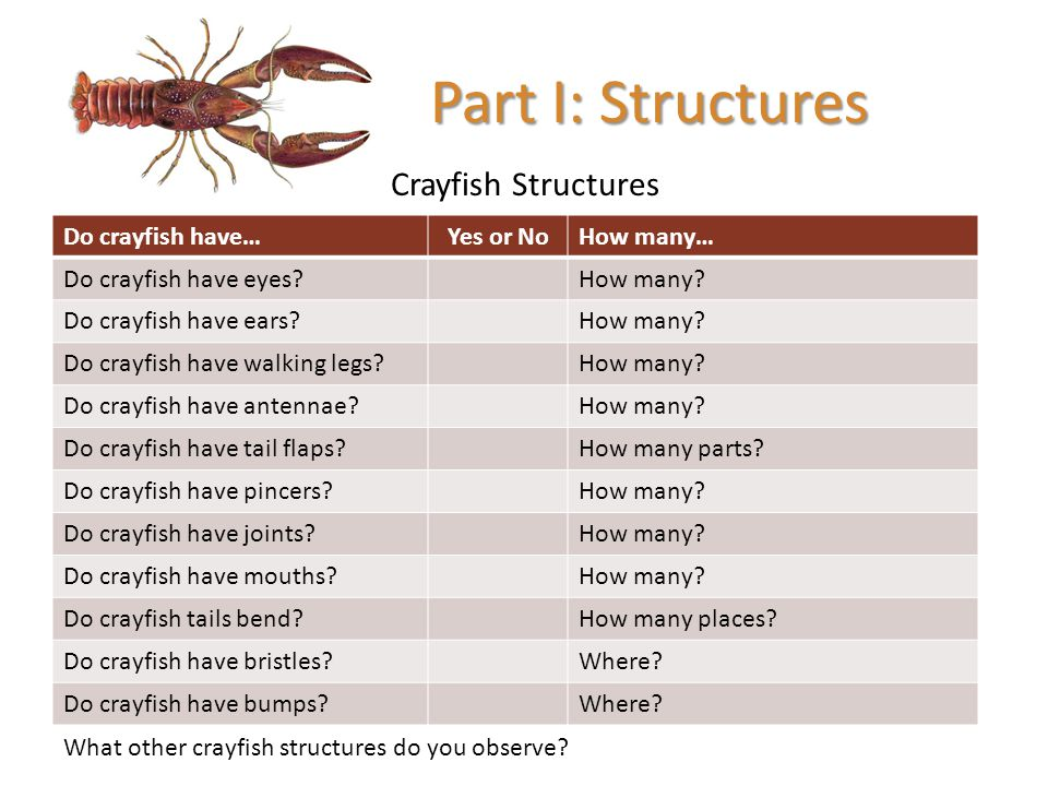 Crayfish Structures Part I: Structures Do crayfish have…Yes or NoHow many… Do crayfish have eyes?How many? Do crayfish have ears?How many? Do crayfish