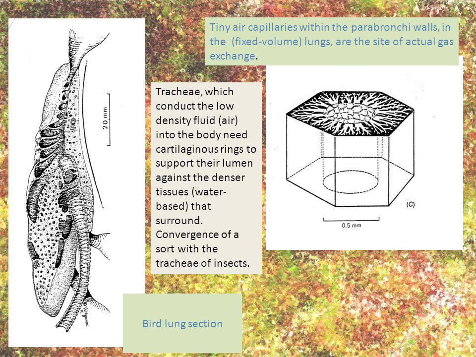 Tiny air capillaries within the parabronchi walls, in the (fixed-volume) lungs, are the site of actual gas exchange. Bird lung section Tracheae, which