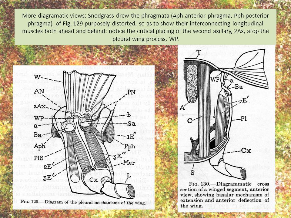 More diagramatic views: Snodgrass drew the phragmata (Aph anterior phragma, Pph posterior phragma) of Fig. 129 purposely distorted, so as to show thei