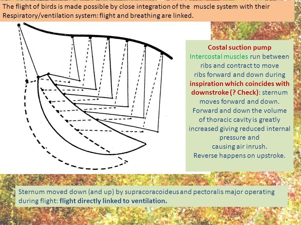 Locust flight {Source: R.E.Snodgrass The thoracic mechanism of a grasshopper, and its antecedents.