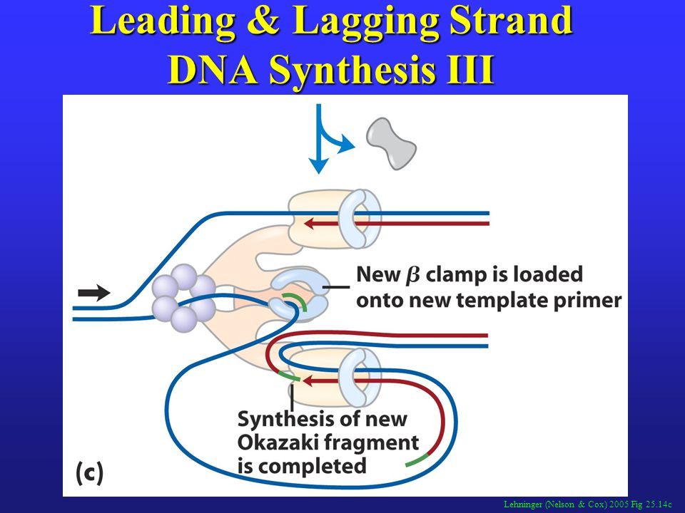 Lehninger (Nelson & Cox) 2005 Fig 25.14c Leading & Lagging Strand DNA Synthesis III