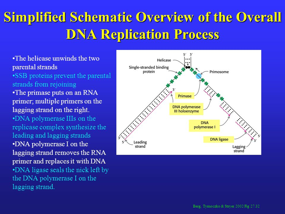 Berg, Tymoczko & Stryer 2002 Fig 27.32 Simplified Schematic Overview of the Overall DNA Replication Process The helicase unwinds the two parental strands SSB proteins prevent the parental strands from rejoining The primase puts on an RNA primer; multiple primers on the lagging strand on the right.