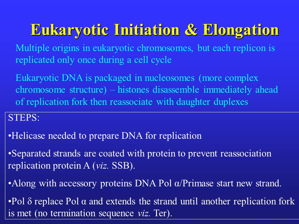 Eukaryotic Initiation & Elongation Multiple origins in eukaryotic chromosomes, but each replicon is replicated only once during a cell cycle Eukaryotic DNA is packaged in nucleosomes (more complex chromosome structure) – histones disassemble immediately ahead of replication fork then reassociate with daughter duplexes STEPS: Helicase needed to prepare DNA for replication Separated strands are coated with protein to prevent reassociation replication protein A (viz.