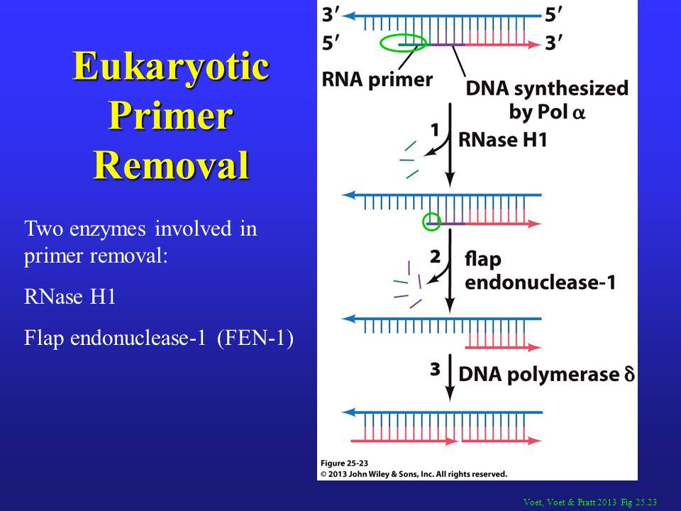 Voet, Voet & Pratt 2013 Fig 25.23 Eukaryotic Primer Removal Two enzymes involved in primer removal: RNase H1 Flap endonuclease-1 (FEN-1)