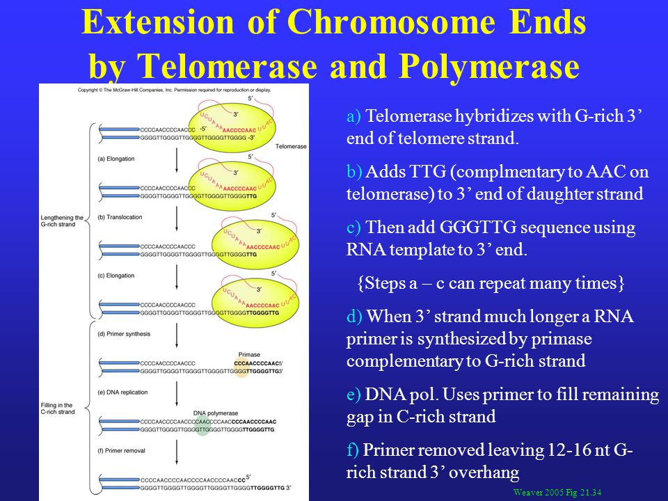 Extension of Chromosome Ends by Telomerase and Polymerase Weaver 2005 Fig 21.34 a) Telomerase hybridizes with G-rich 3' end of telomere strand.