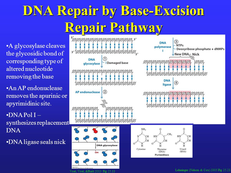 Lehninger (Nelson & Cox) 2005 Fig 25.23 DNA Repair by Base-Excision Repair Pathway A glycosylase cleaves the glycosidic bond of corresponding type of altered nucleotide removing the base An AP endonuclease removes the apurinic or apyrimidinic site.