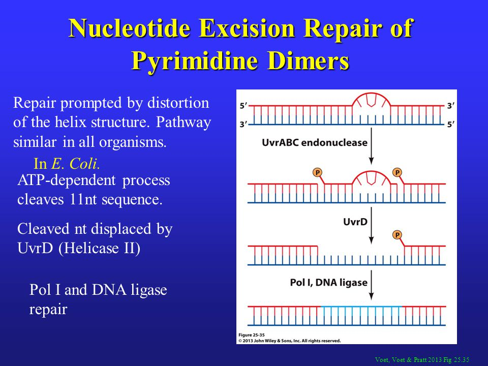 Voet, Voet & Pratt 2013 Fig 25.35 Nucleotide Excision Repair of Pyrimidine Dimers Repair prompted by distortion of the helix structure. Pathway simila