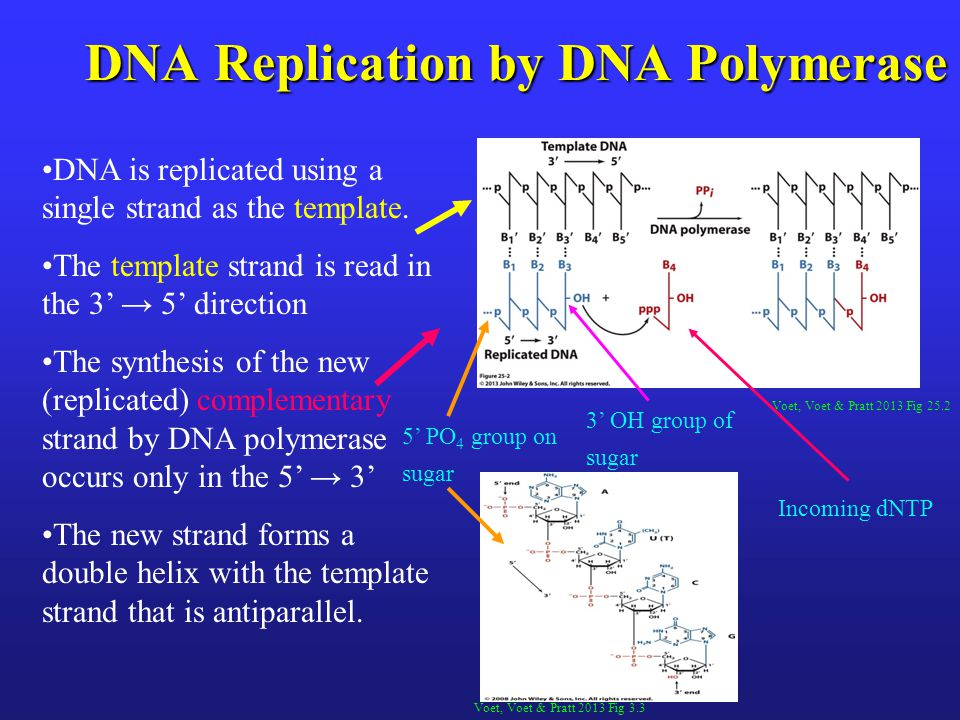 Voet, Voet & Pratt 2013 Fig 25.2 DNA Replication by DNA Polymerase DNA is replicated using a single strand as the template. The template strand is rea