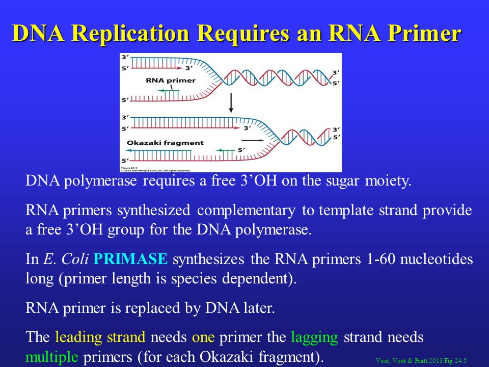 DNA polymerase requires a free 3'OH on the sugar moiety. RNA primers synthesized complementary to template strand provide a free 3'OH group for the DN