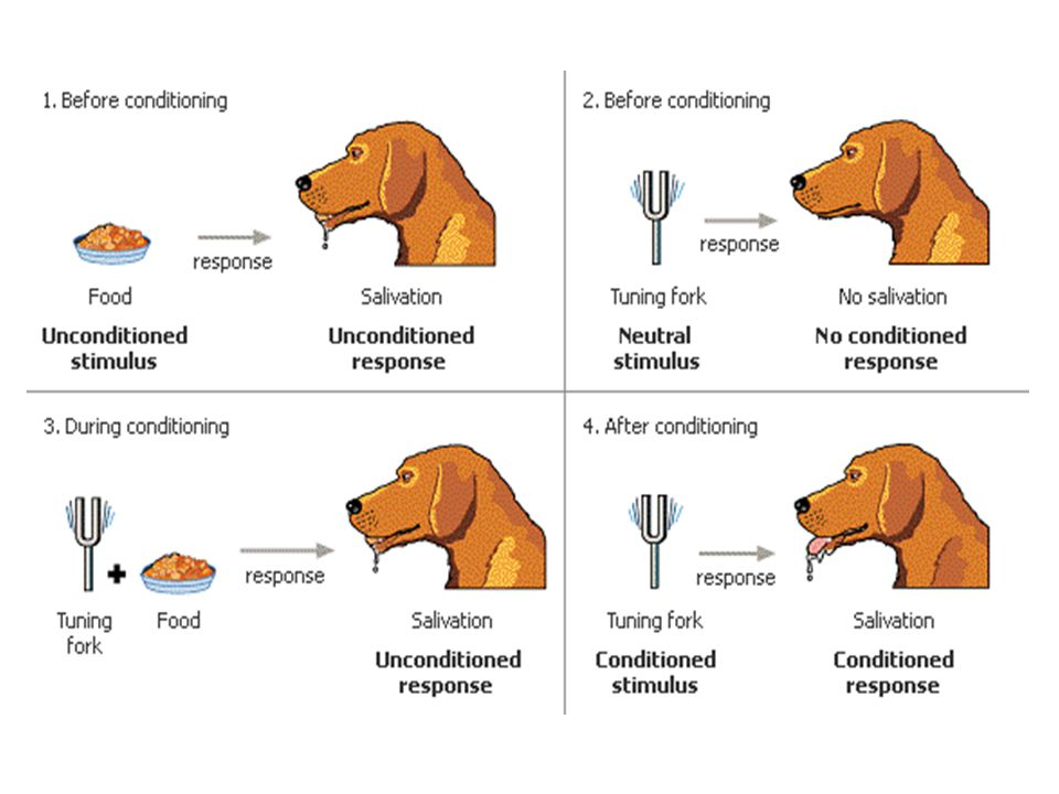Classical Conditioning Extinction Acquisition = pairing of CS and US, learning of the association Extinction = CS no longer paired with UCS, CR stops