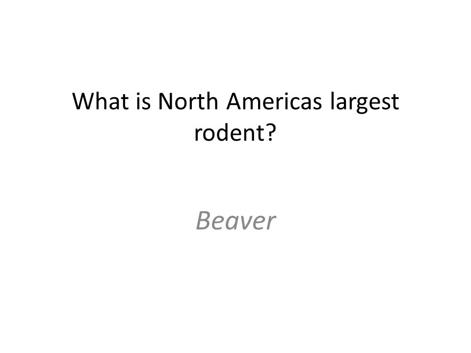 What is North Americas largest rodent Beaver