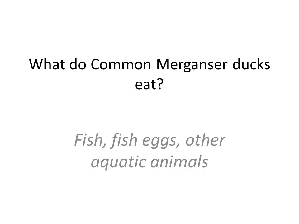 What do Common Merganser ducks eat Fish, fish eggs, other aquatic animals