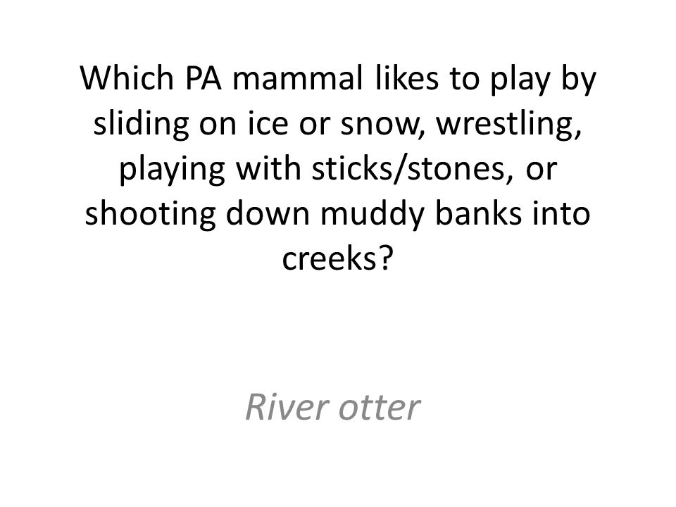 Which PA mammal likes to play by sliding on ice or snow, wrestling, playing with sticks/stones, or shooting down muddy banks into creeks.