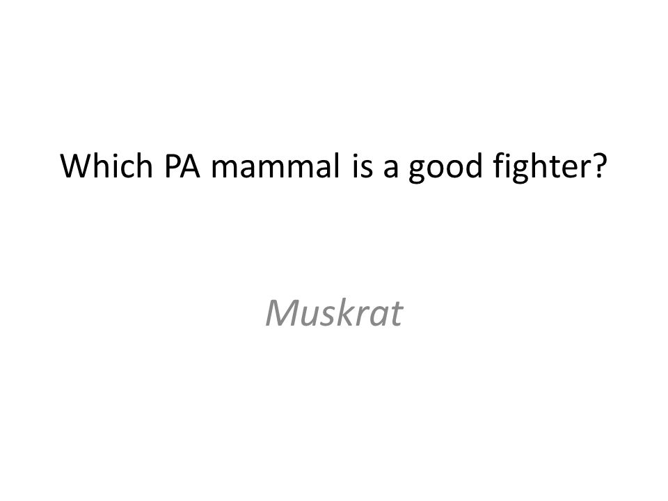 Which PA mammal is a good fighter Muskrat