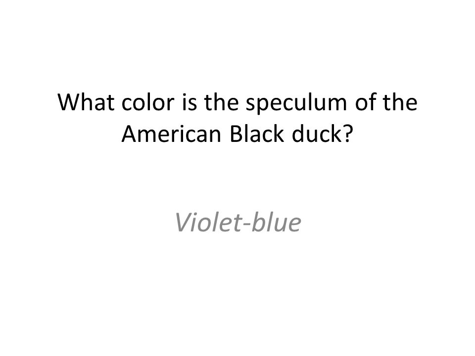 What color is the speculum of the American Black duck Violet-blue