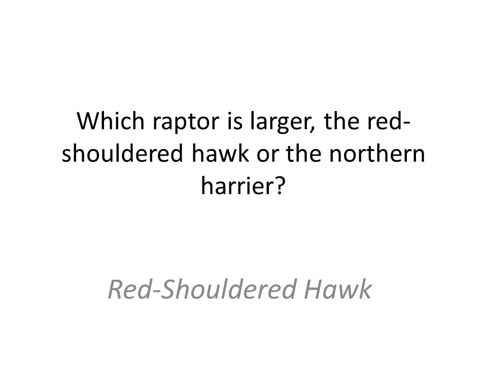 Which raptor is larger, the red- shouldered hawk or the northern harrier Red-Shouldered Hawk