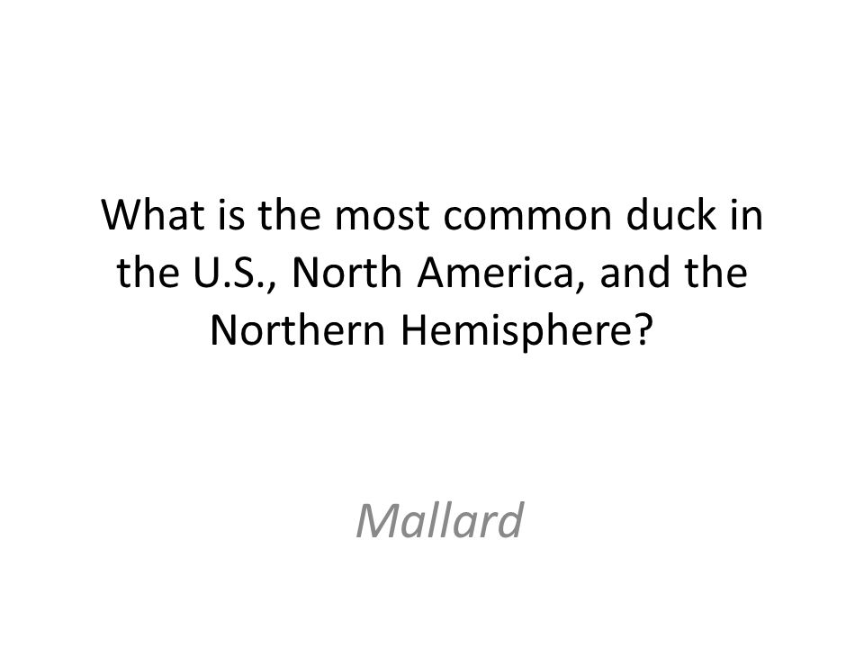 What is the most common duck in the U.S., North America, and the Northern Hemisphere Mallard