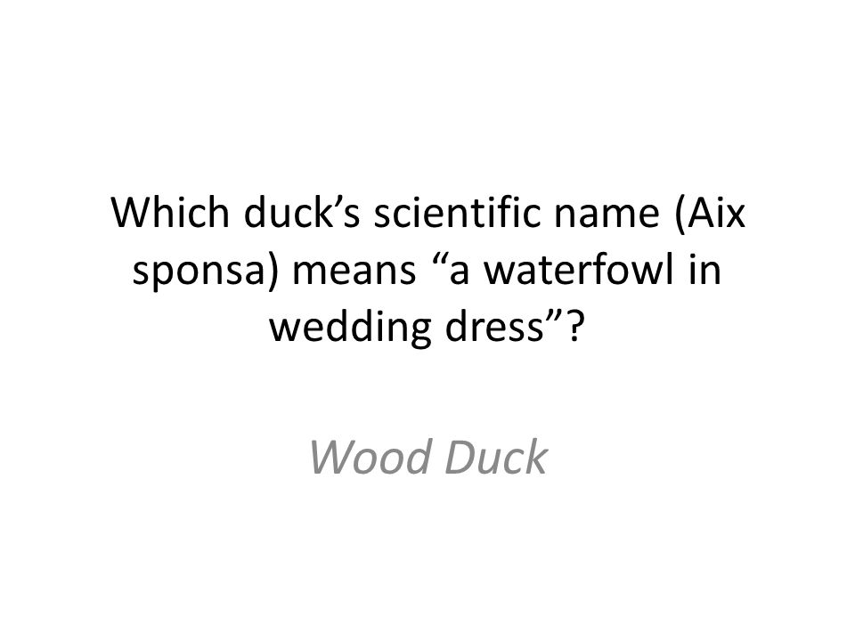 Which duck's scientific name (Aix sponsa) means a waterfowl in wedding dress Wood Duck