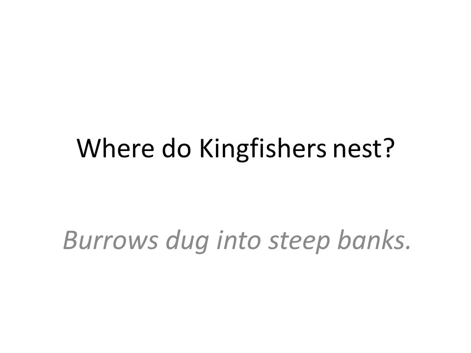 Where do Kingfishers nest? Burrows dug into steep banks.