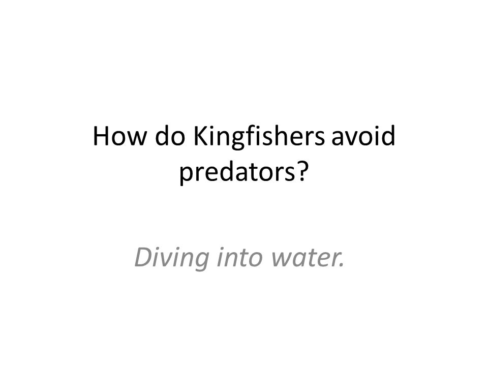 How do Kingfishers avoid predators Diving into water.